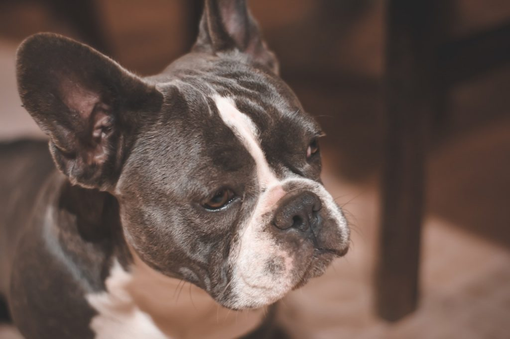 A Helpful Guide to the Best Dog Food for French Bulldogs